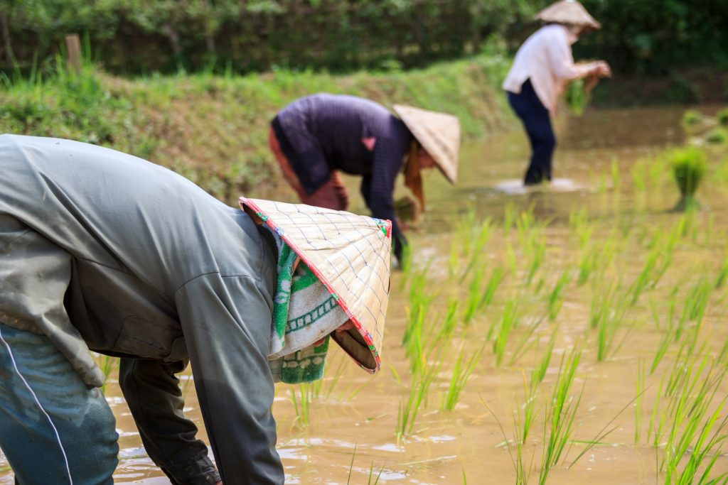 farmers in the rice field laos