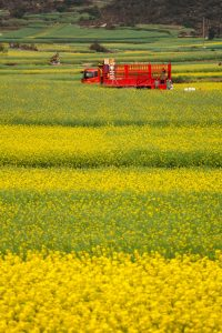 canola fields in china